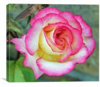 Garden Rose , Canvas Print