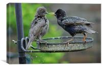 Starling feeding juvenile , Canvas Print