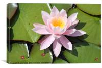 Water Lily, Canvas Print