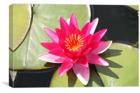 Water Lily 2, Canvas Print