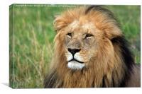 Masai Mara Lion Portrait, Canvas Print