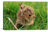 Leveret In The Grass , Canvas Print