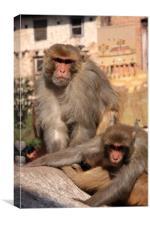 Kathmandu Street Monkeys , Canvas Print