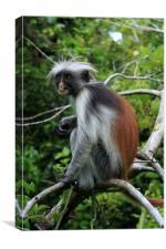 Red Colobus Monkey , Canvas Print