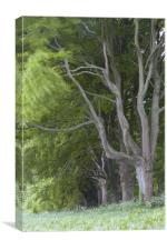 Beech Avenue, Badbury Rings, Dorset, Canvas Print