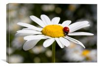 Ladybird on Oxeye Daisy, Canvas Print