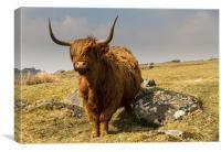 Ditsworthy Highland Cow, Canvas Print
