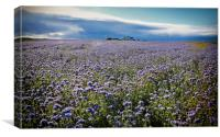 Northumbrian crop of linseed, Canvas Print