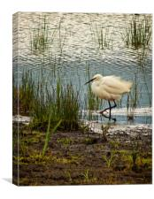 Little Egret rushing by, Canvas Print
