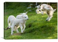 Spring Lamb Springing, Canvas Print