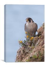 Peregrine Falcon, Canvas Print
