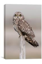 Short Eared Owl , Canvas Print