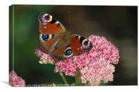 Peacock Butterfly resting on flower, Canvas Print