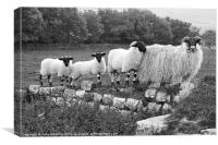 Black and White Sheep, Canvas Print