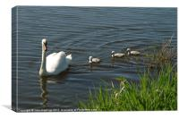 Swan Family, Canvas Print