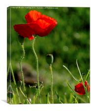 Poppy Red, Canvas Print