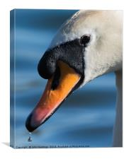 Swan Portrait, Canvas Print