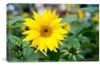 Mini Sunflower and Bud, Canvas Print