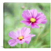 Two Purple Cosmos Flowers, Canvas Print