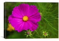 Single Purple Cosmos Flower, Canvas Print