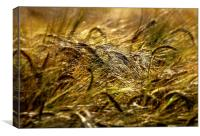 Barley Field., Canvas Print