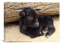 Little baby goat, Canvas Print
