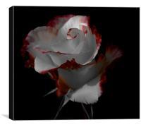 Elegant rose, Canvas Print