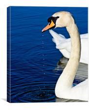 Dribbling swan, Canvas Print
