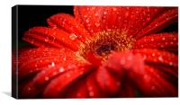 Red Gerbera, Canvas Print