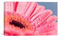 Water covered Pink Gerbera, Canvas Print