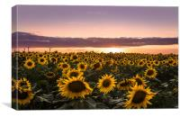 Sunset of Sunflower Field, Canvas Print