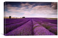 Lavender Fields , Canvas Print