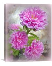 Pink Asters 1, Canvas Print