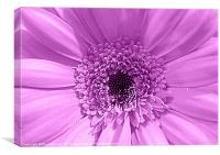 Lilac Gerbera, Canvas Print