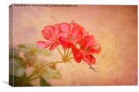 Geranium, Canvas Print