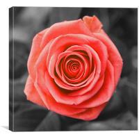 English Rose, Canvas Print