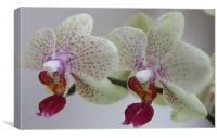 Cymbidium Orchid, Canvas Print