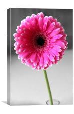 Pink Gerbera, Canvas Print