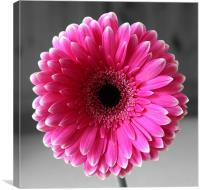 Rose Gerbera, Canvas Print