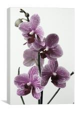 Vintage Cymbidium Orchid, Canvas Print