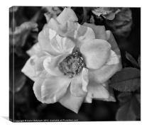 Garden Camellia Flower, Canvas Print
