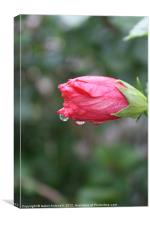 Raindrops on Roses, Canvas Print