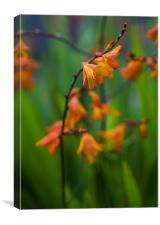 Fiery Crocosmia, Canvas Print