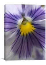Purple Pansy, Canvas Print