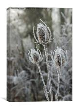 Frosty Teasel, Canvas Print