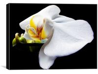 white orchid, Canvas Print