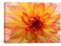 beauty dahlia, Canvas Print