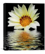 2501-white gazania, Canvas Print