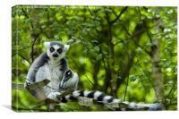 Ring-tailed lemur (Lemur catta ), Canvas Print