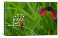 cinnabar moth in flight, Canvas Print